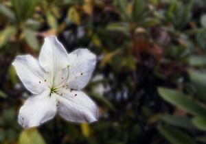 返り咲きの白琉球