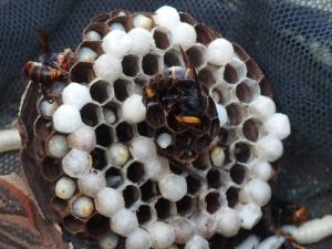 小型雀蜂-2