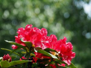 西洋石楠花-1