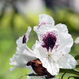 西洋石楠花-2